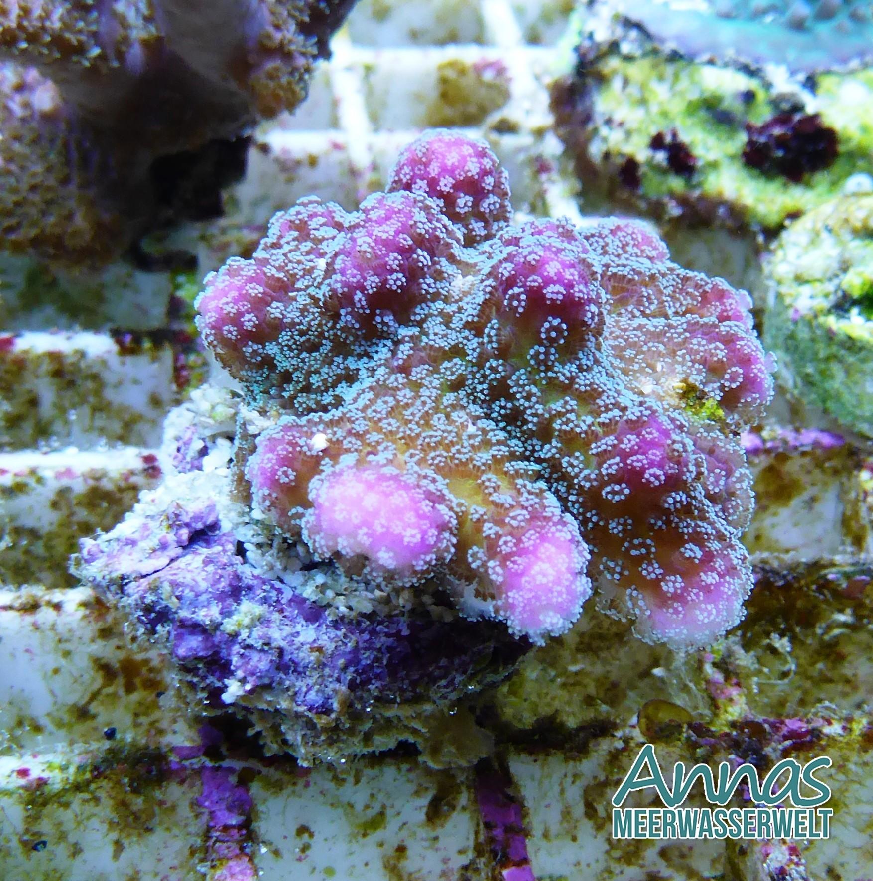 Stylophora  multicolor pink