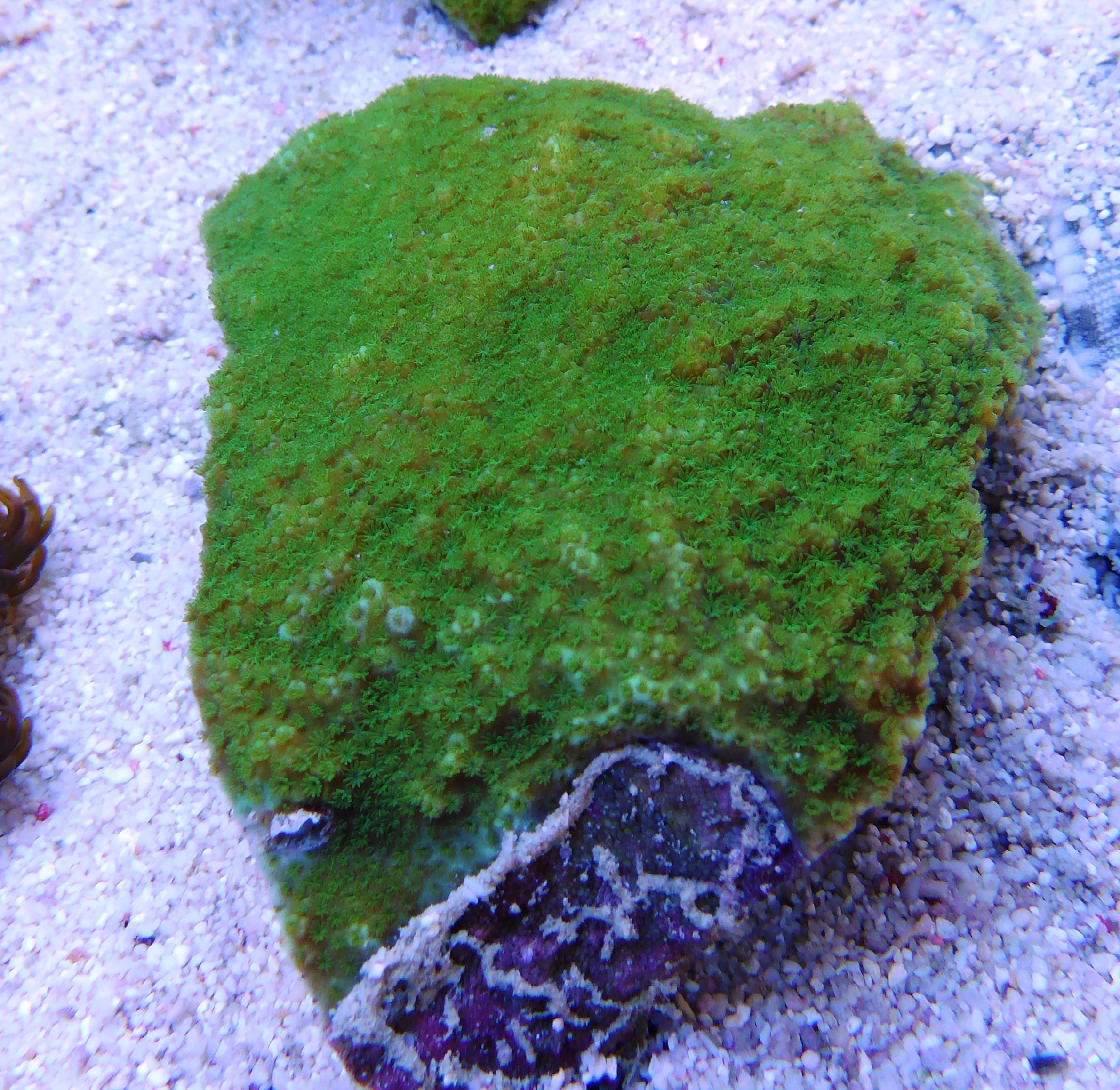 montipora spp green