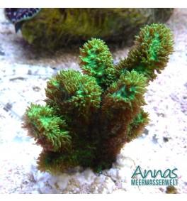 Hydnophora exesa Toxic green