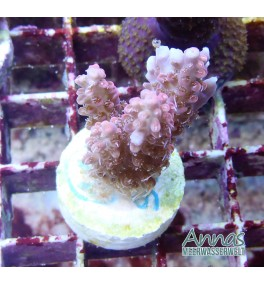 Acropora micodoladis strawberry shortcake