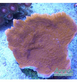 Montipora foliosa rot