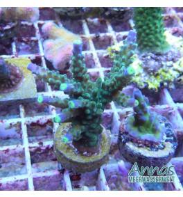 Korallen Paket Acro