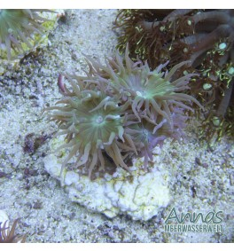 Duncanopsammia axifuga - Bartkoralle