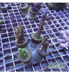 Korallen Paket 4 fach mit halter