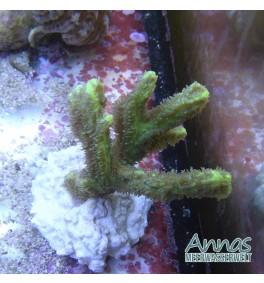 Hydnophora- Pickelkoralle