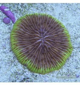 Fungia Multicolor