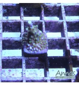 Acropora Bali Tricolor