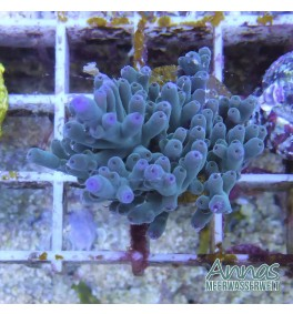 Acropora echinata hellblau