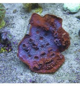 echinophyllia Ultra