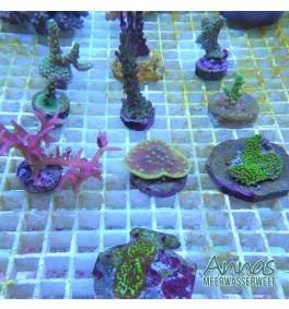 Korallen Paket