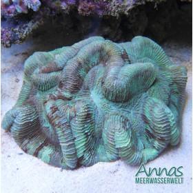 Trachyphyllia geoffroyi green