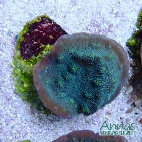 Echinopora lemellosa
