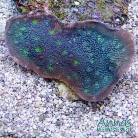 Echinopora lammelosa