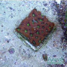 Favites War Coral red