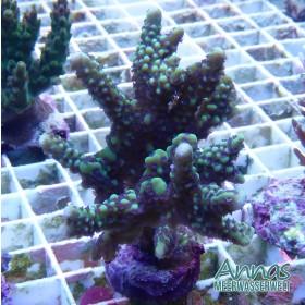 Montipora capitata grün mit blauen Polypen