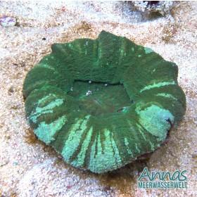 Scolymia australis Grün marmoriert