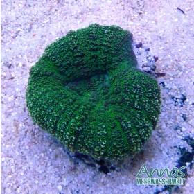 lobophyllia green