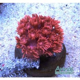 Goniopora Rot