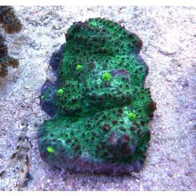 Mycedium spp. Green