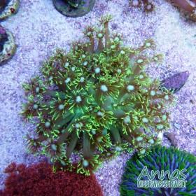 Goniopora neon grün