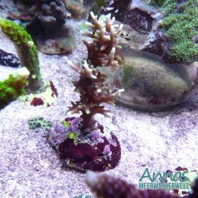Acropora carduus Yellow tip