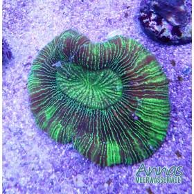 Trachyphyllia Ultra green