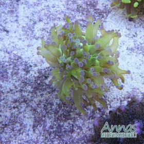 Korallen Paket LPS