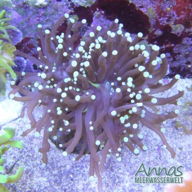 Euphyllia glaberenses black Torch