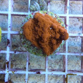 Montipora setosa