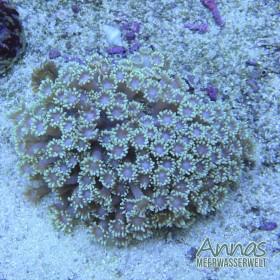 Alveopora
